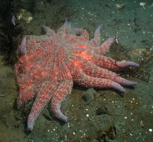 Sunflower Sea Stars or Starfish