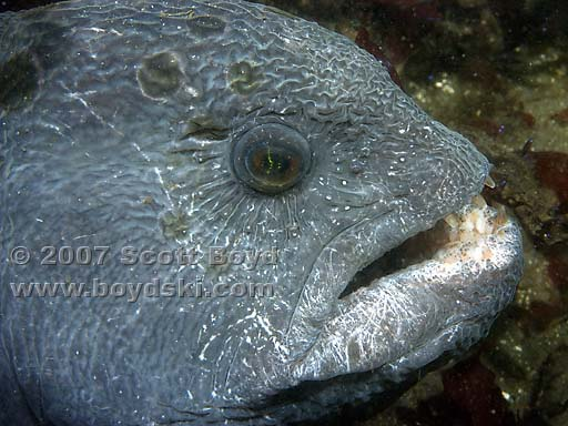 Wolf Eel Face